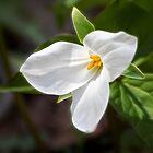 Spring Trillium by Kathy Weaver