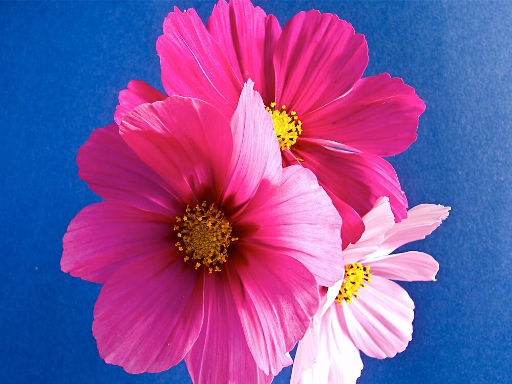 Pink Ladies by George Swann