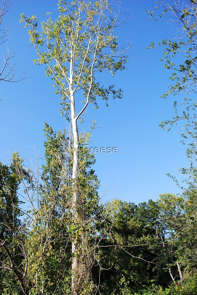Tall Tree by Freese
