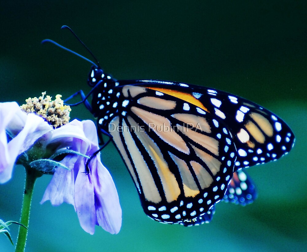 Multi-Colored Wings by Dennis Rubin IPA
