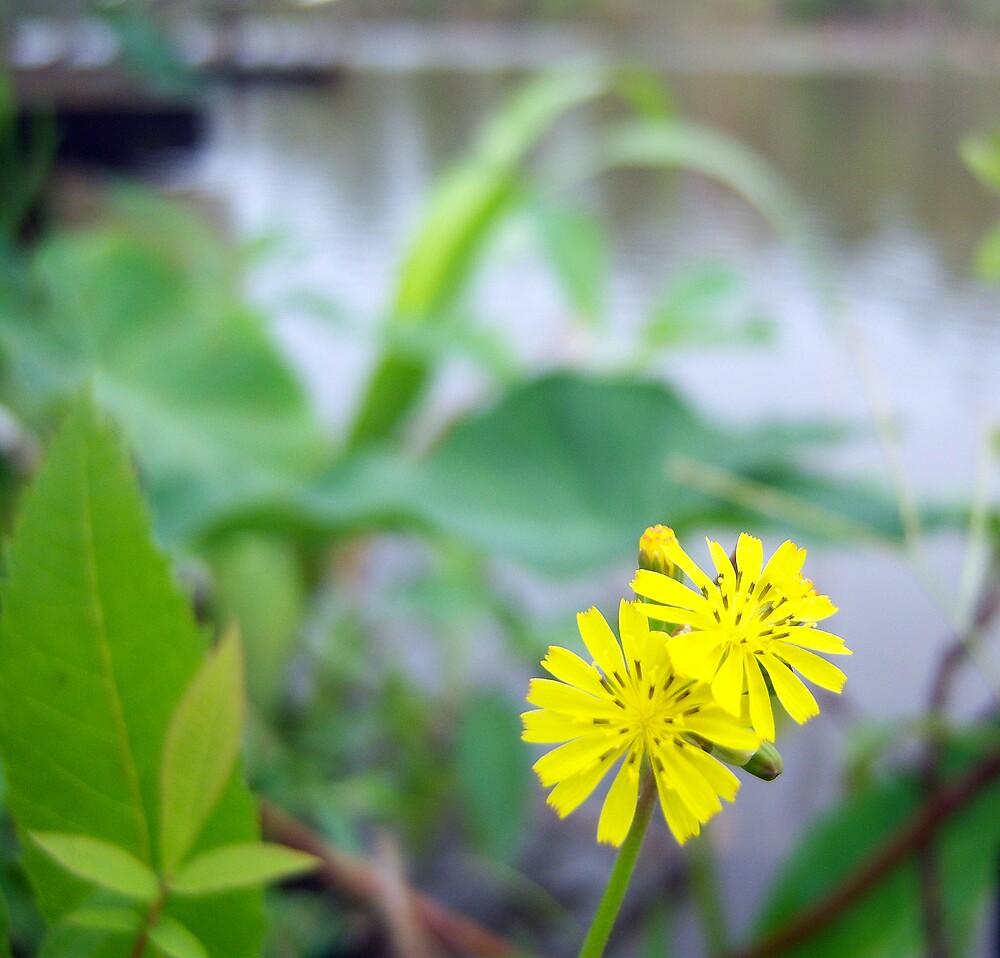 Wild Coltsfoot Flower by DottieDees