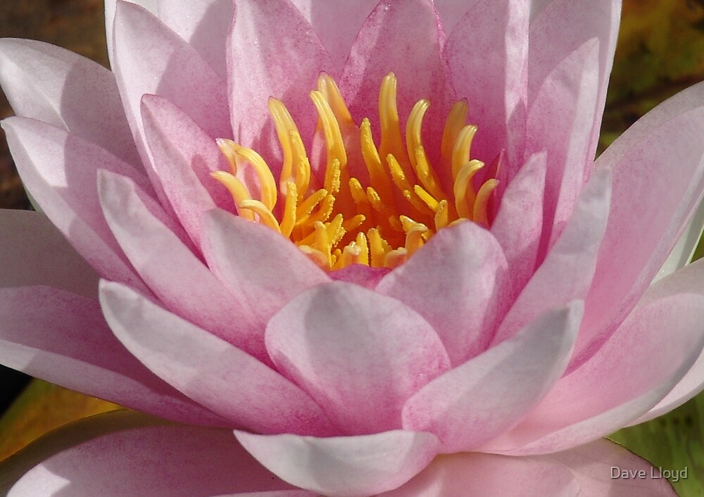 Lotus Heart by Dave Lloyd