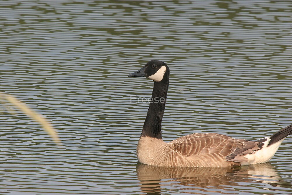 Canada Goose by Freese