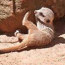 Baby Meerkat by SusanAdey
