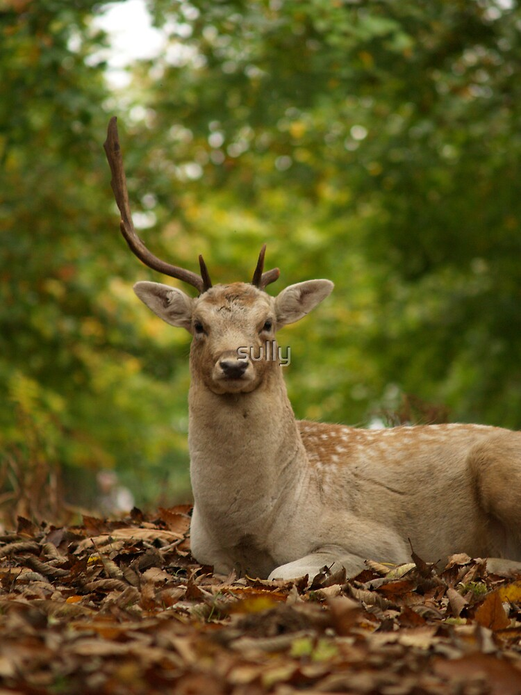 young buck by sully