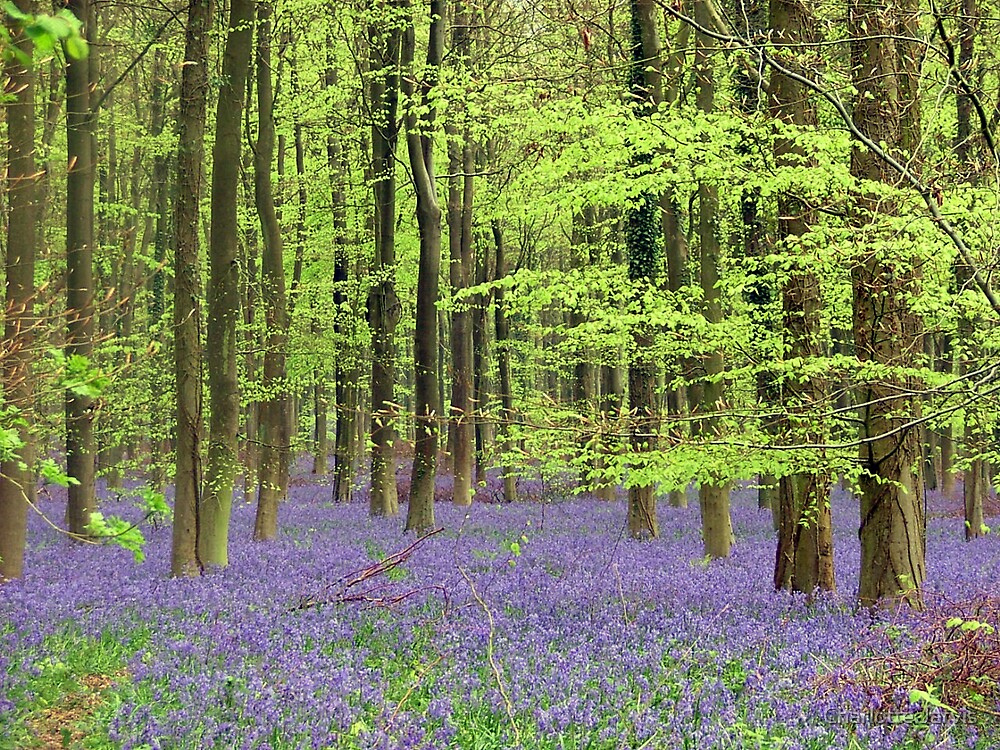 Bluebells by Charlotte Jarvis