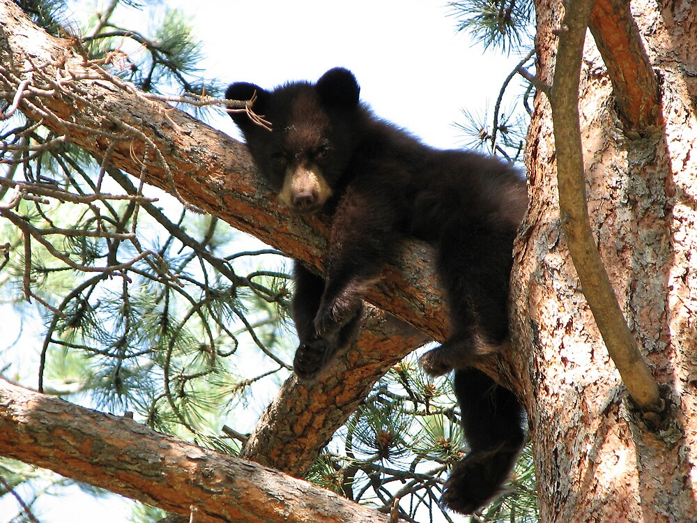 Baby Bear in Tree by grubb1980