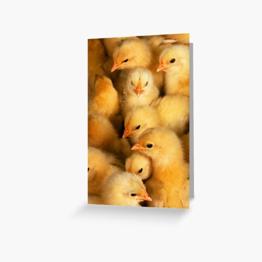 Clutch of Yellow Fluffy Chicks Greeting Card
