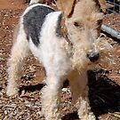 Wire Haired Terrier by Kay Cunningham