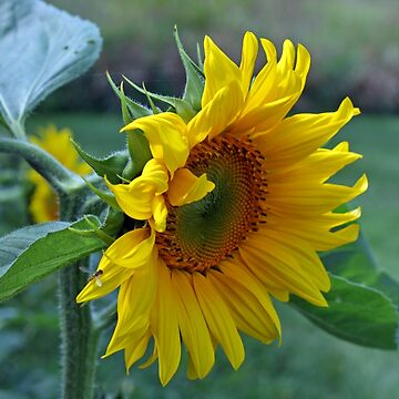 Sunflower by johnny55