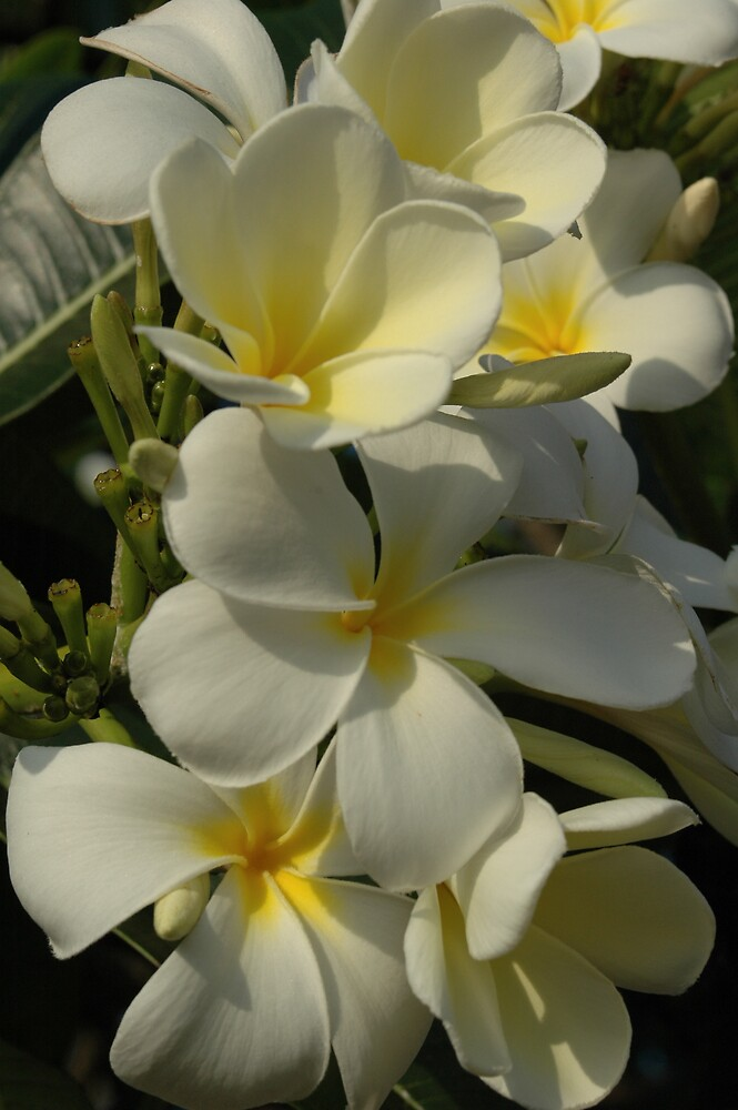White Plumeria by bpaulus