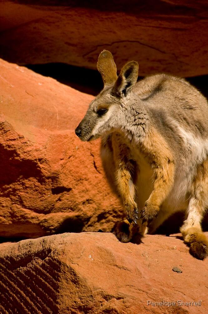 Yellow Footed Rock Wallaby by Penelope Sherrell