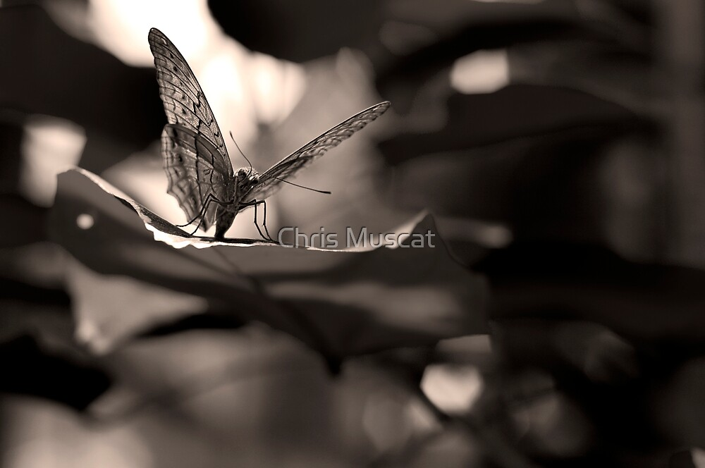 Butterfly Sepia by Chris Muscat