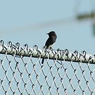 Black Phoebe scoping out it's prey - La Mirada, CA 10-17-2008 by leih2008