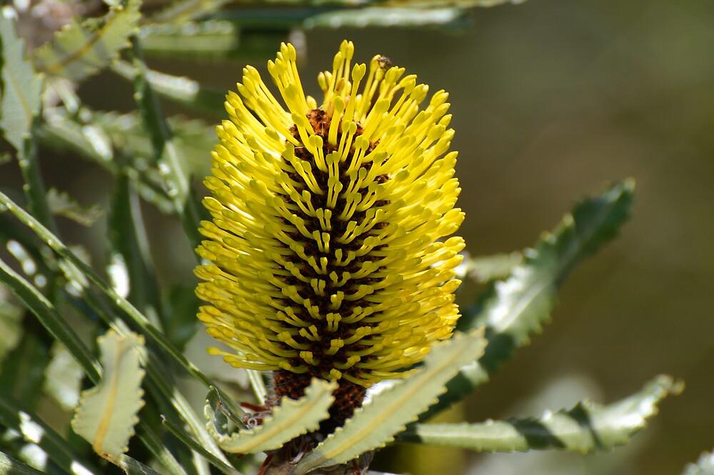 Banksia pilostylis by Melva Vivian