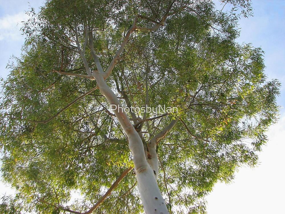 Eucalyptus Tree by PhotosbyNan