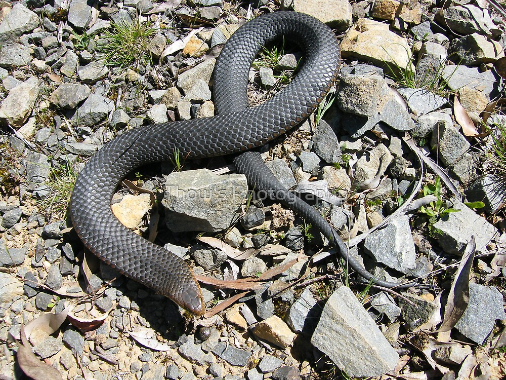Copperhead caught at Port Sorell Tas 2 by Thow's Photography
