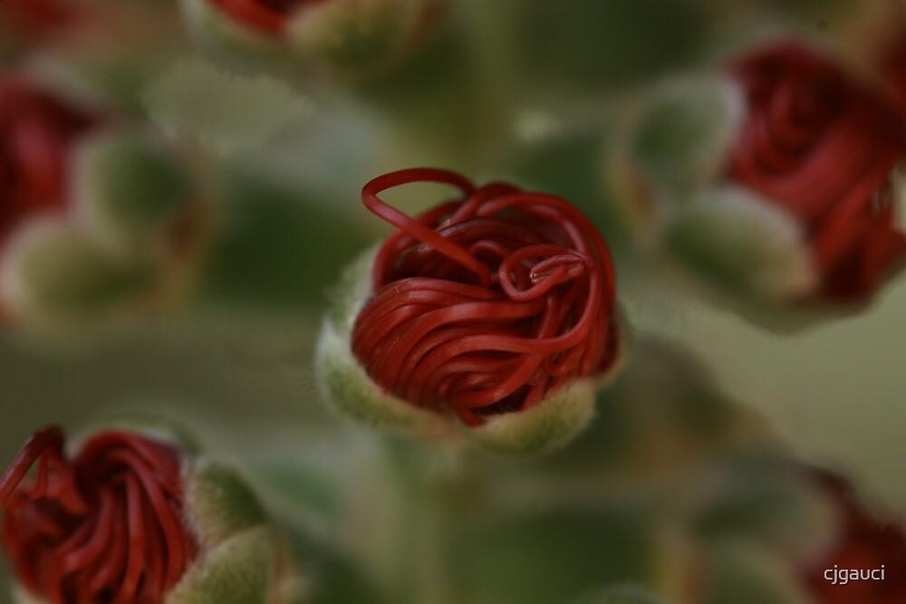 Banksia Macro by cjgauci