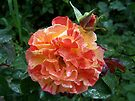 Rose .. after the rain 12 by LoneAngel