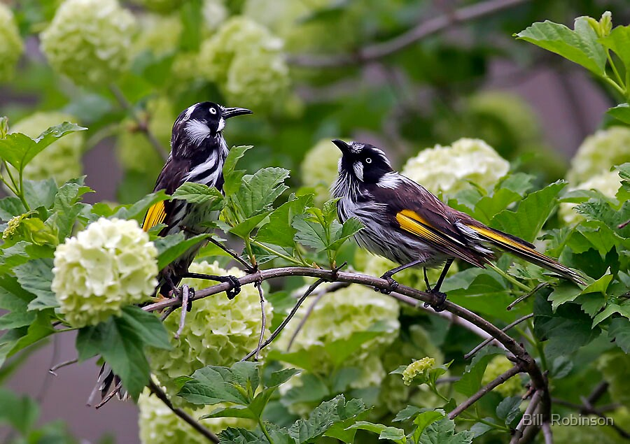 New Holland Honey Eaters by Bill  Robinson