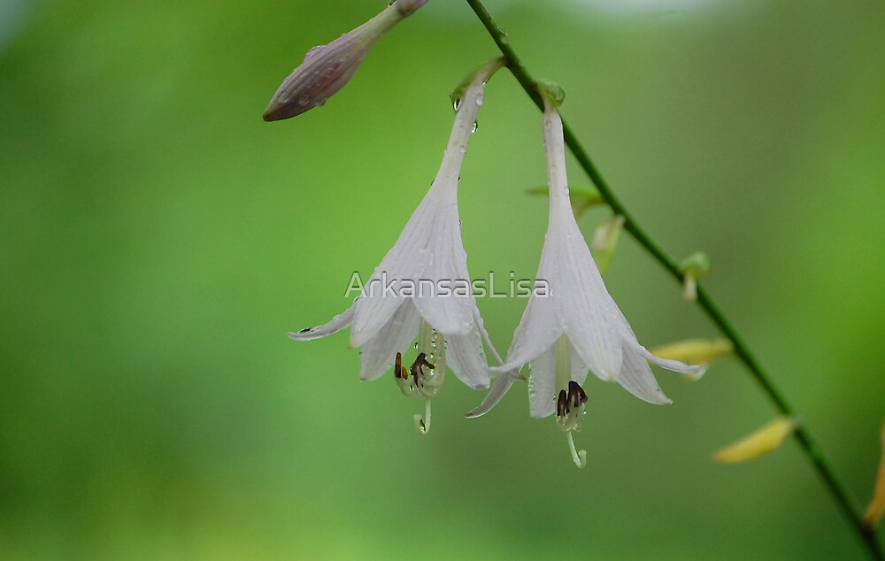Hosta Bells by ArkansasLisa