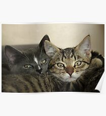 Two close kitten pussies Poster