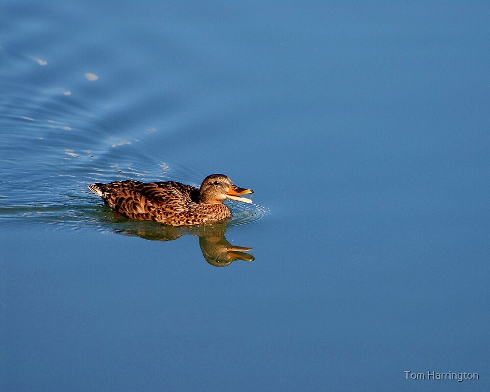 Laughing Duck by Tom Harrington