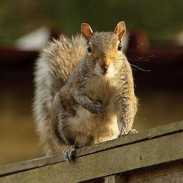 Grey Squirrel by ShootnHooton