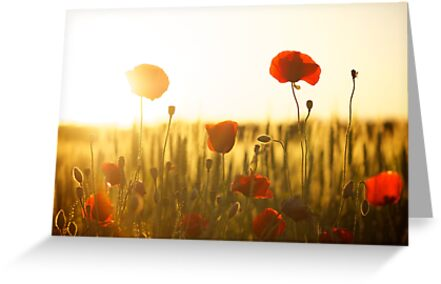 Sunset Poppy by Sharon Felschow
