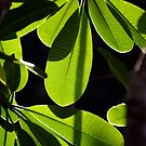 Evergreen Delight by Kerryn Madsen-Pietsch