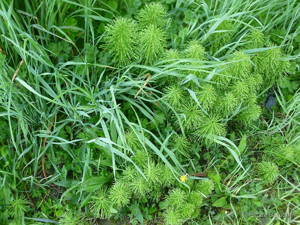 Horsetail and Wild Grass by Elaine Bawden