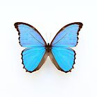 Blue Morpho Butterfly by Alyson Fennell