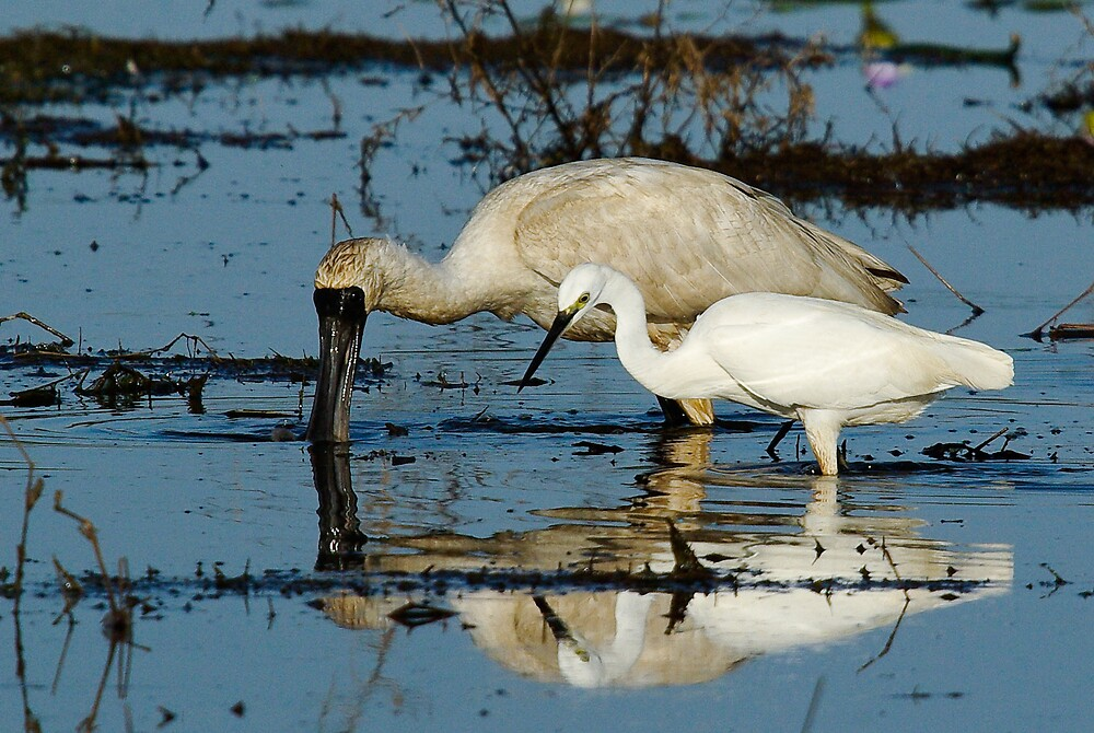 Royal Spoonbill and Little Egret feed by Keith McGuinness