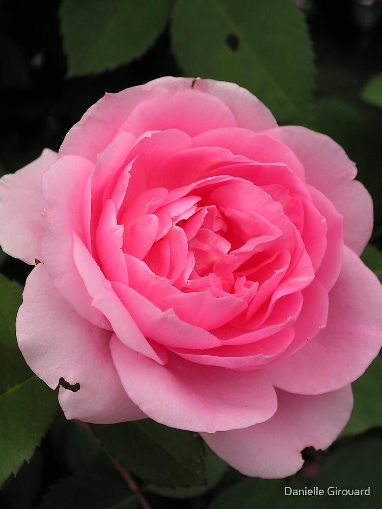 A Beautiful Pink Rose by Danielle Girouard