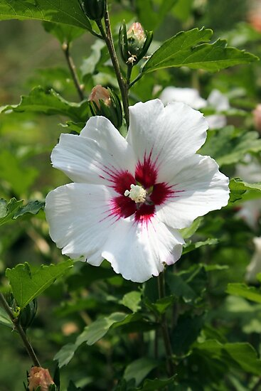White Hibiscus, mallow family, Malvaceae. by Dennis Melling