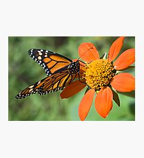 Food for Monarchs Photographic Print