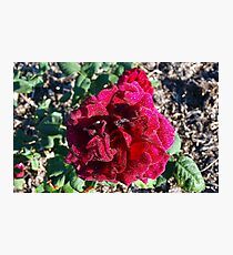 The Rose ~ Ena Harkness Photographic Print