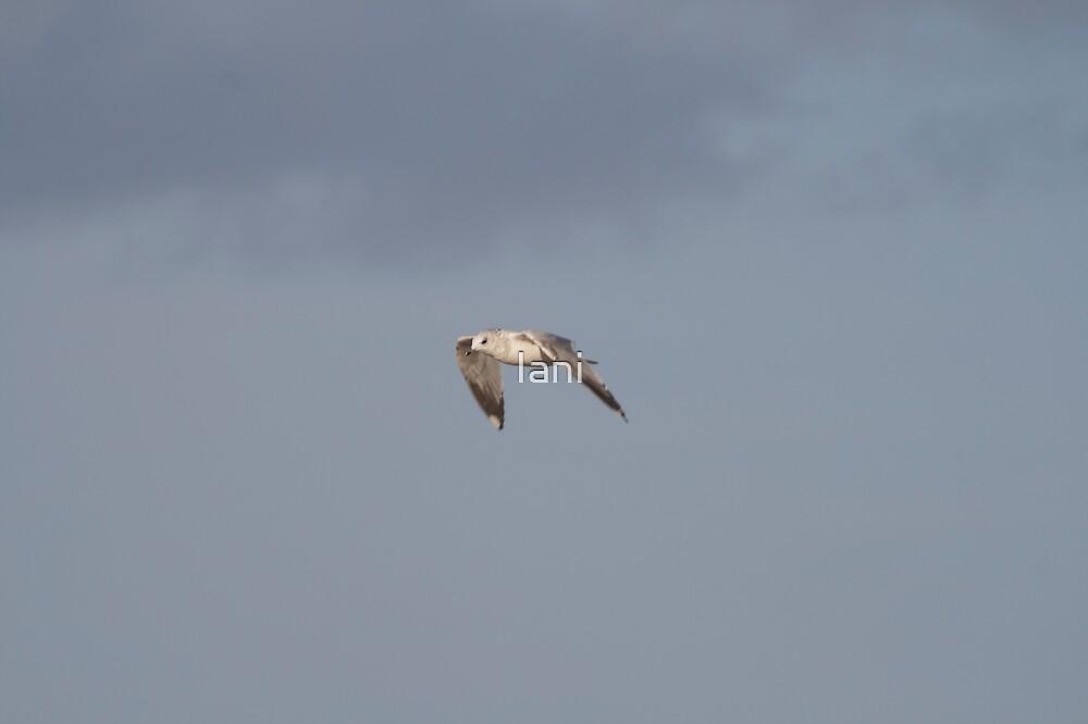 A Seagull in Flight by Iani