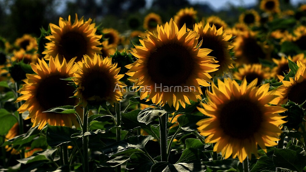 sunflower backlit by Andras Harman
