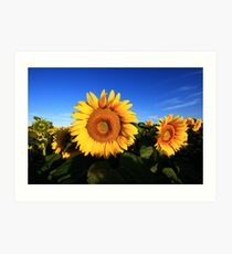 Sunflower in a field, blue sky Art Print