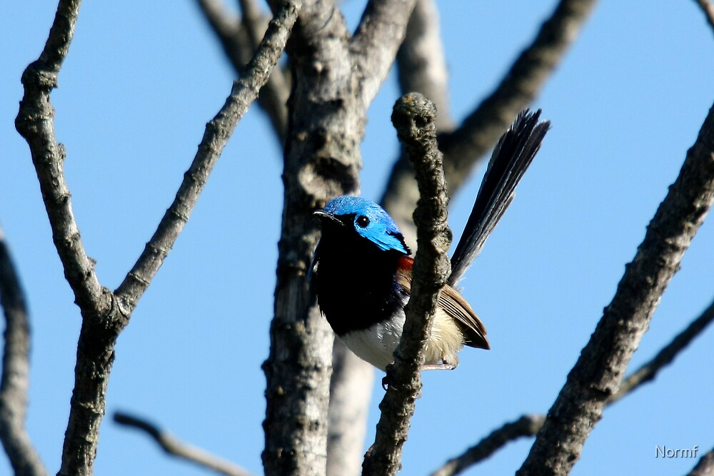 Varigated Fairy Wren, Bigma2 by Normf
