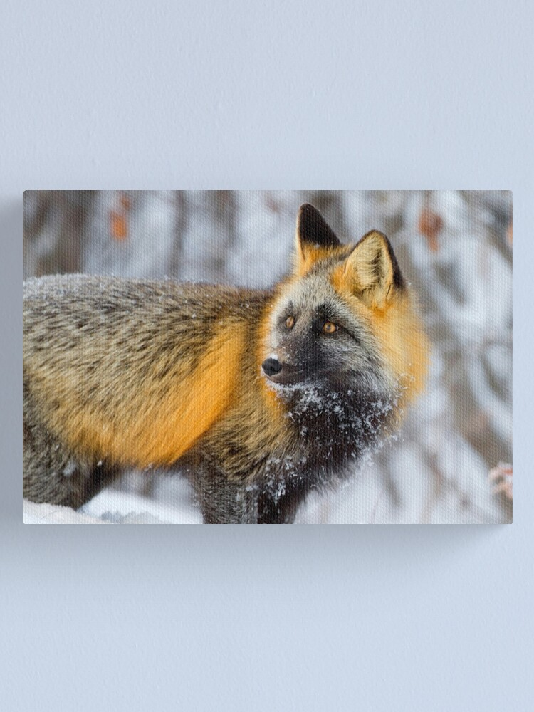 Alternate view of Cross Fox in the Arctic Canvas Print