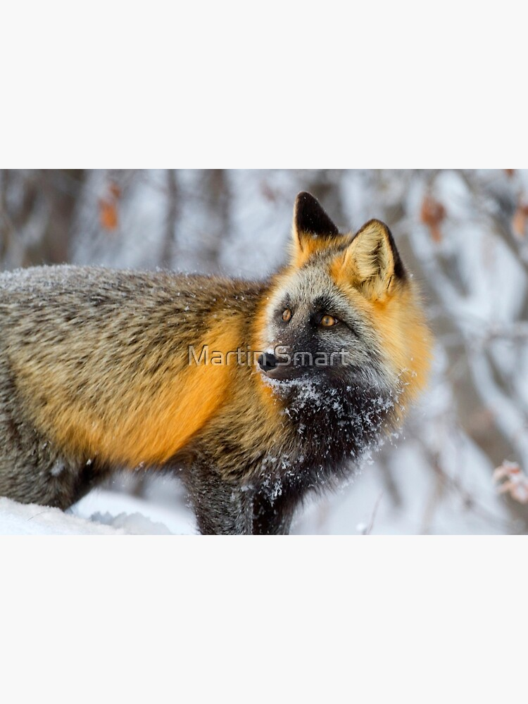 Cross Fox in the Arctic by MartinSmart