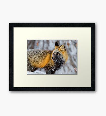 Cross Fox in the Arctic Framed Print