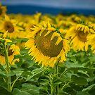 Sunflower Brilliance by Kim Austin
