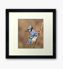 Blue Jay (native to Canada) Framed Print