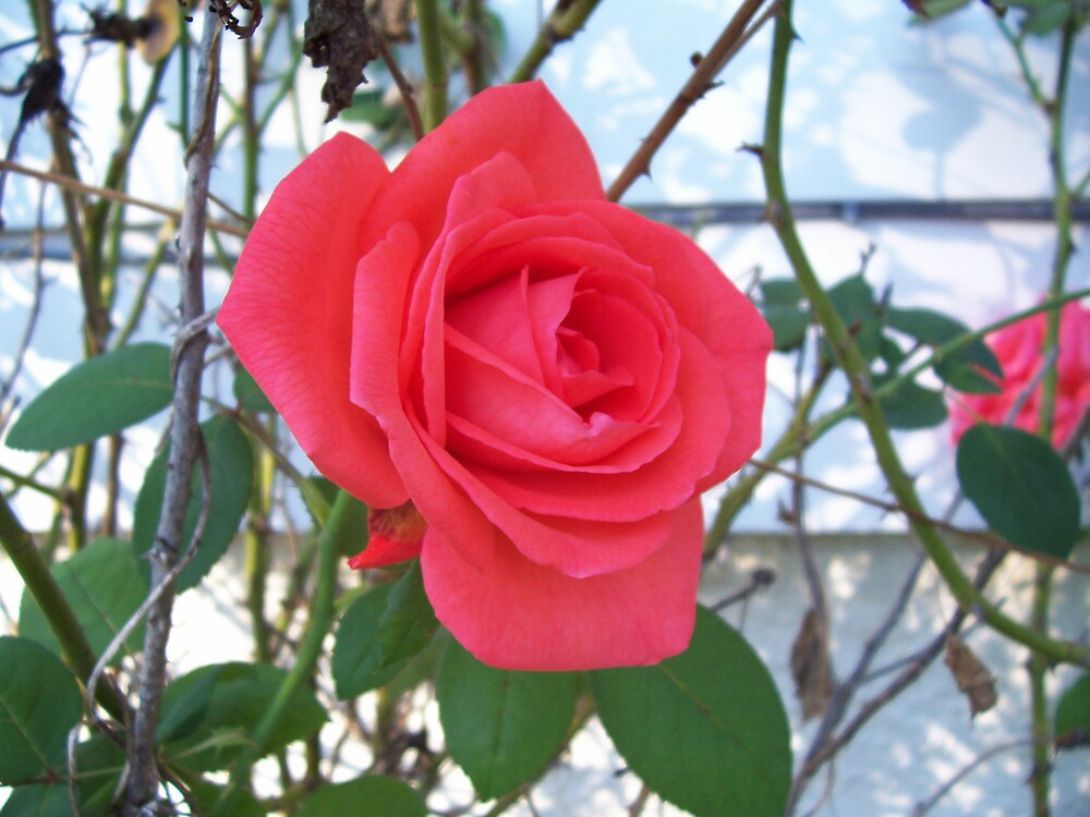 A Rose Among the Thorns by Dottie Palmer