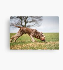 Brown Roan Italian Spinone Dog in Action Metal Print