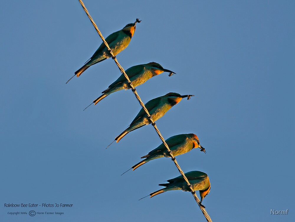 Bee Eater Bee Eating! by Normf