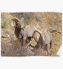 Pair of Rams Poster